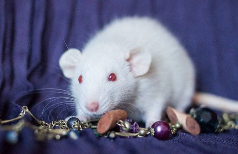 Сонник черная мышь крыса. к чему снится черная мышь крыса видеть во сне - сонник дома солнца