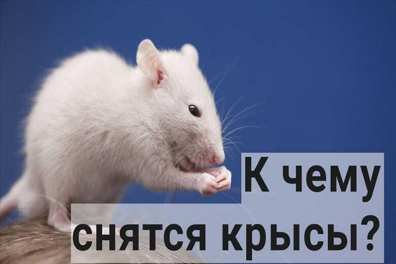 Кчему снятся крысы восне женщине: белая, черная, много
