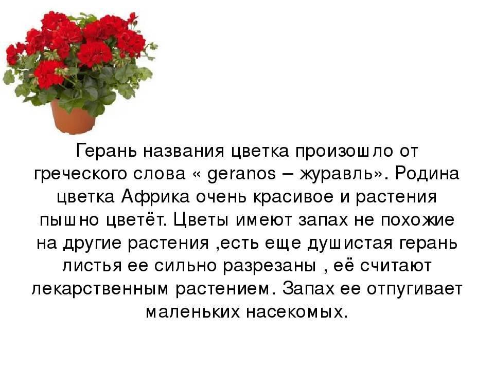 Герань: приметы о растении, можно ли держать в доме, какими магическими свойствами обладает цветок.