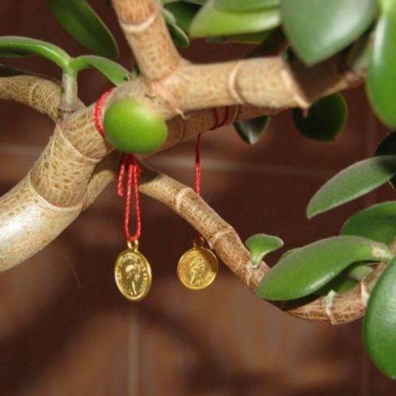 Денежное дерево: как правильно его посадить, чтобы водились деньги? где дерево должно стоять по фэншуй? как пересадить дерево для привлечения денег?