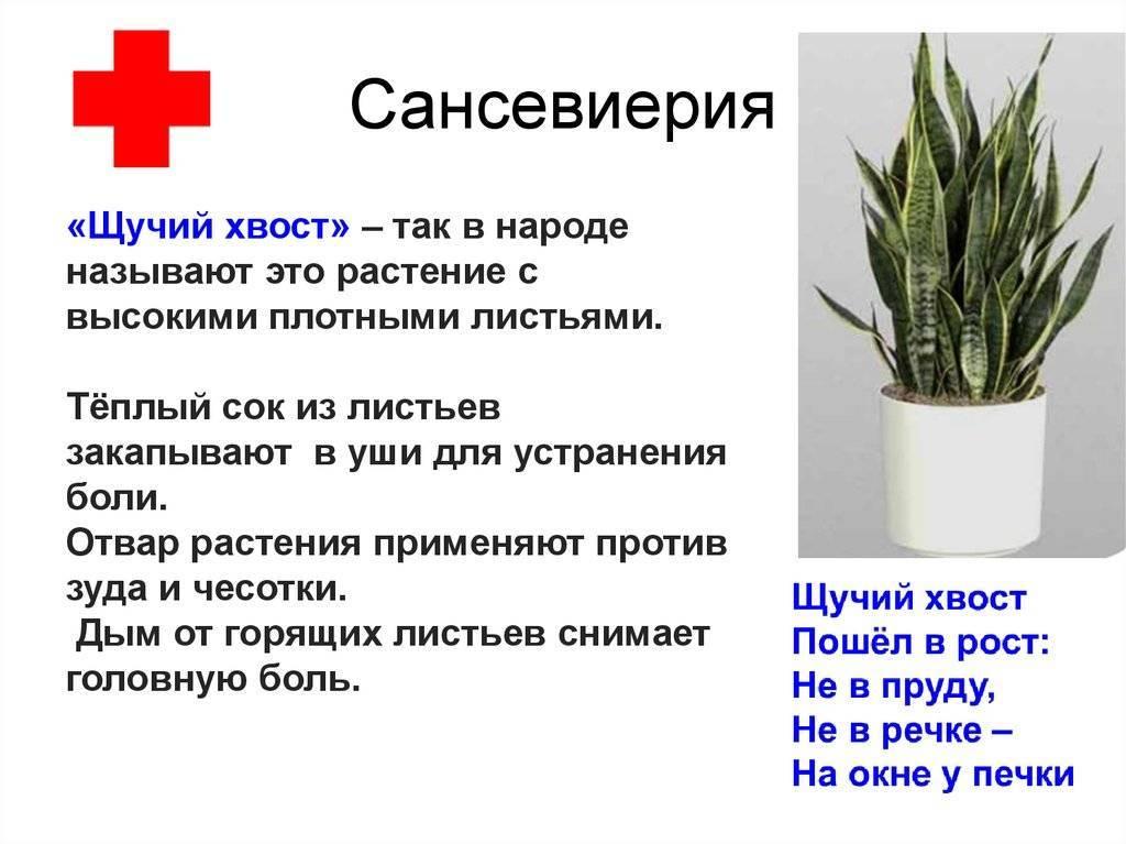 Мистические свойства цветущих кактусов